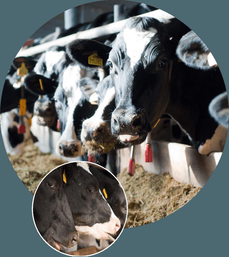 Krávy a jalovice – Doubrava s.r.o., Zahnašovice, Ludslavice