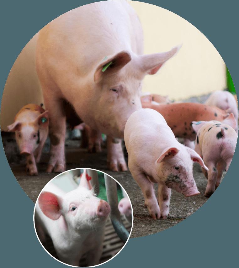 Prasata a živočišná výroba – Doubrava s.r.o., Zahnašovice, Ludslavice